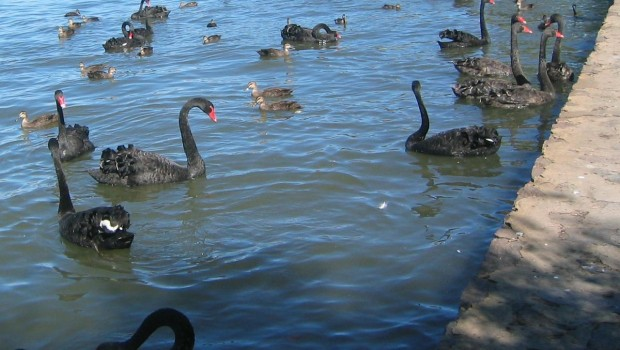 1280px-Black_Swans_Canberra