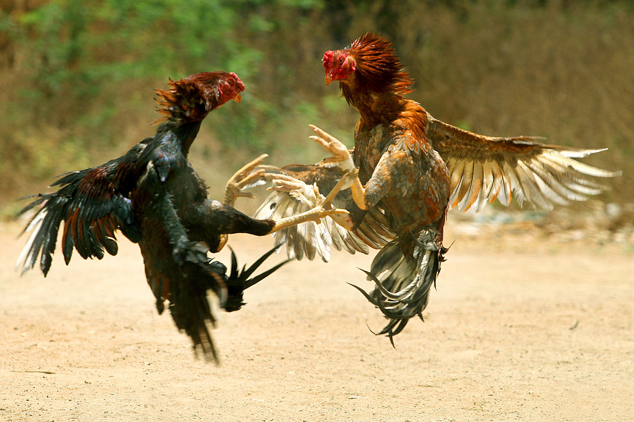 1280px-COCK_FIGHT