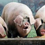pigs-at-trough